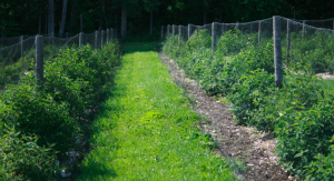 Haskap orchard